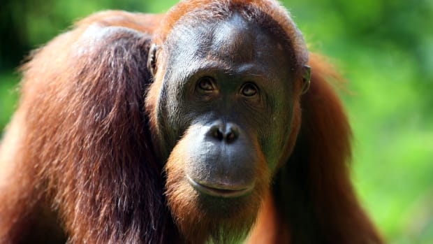 An Orangutan is seen at Ragunan Zoo's 'Schmutzer Primate Center' on February 15th, 2007, in Jakarta, Indonesia.