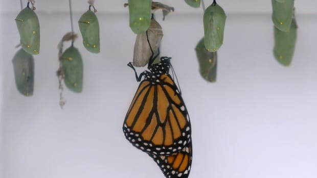 A monarch butterfly hangs from its cocoon.
