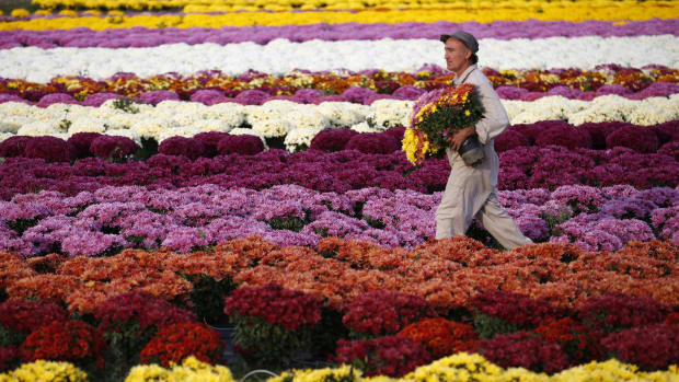 A chrysanthemum producer walks in his field as he picks up pots in Ajaccio, on the French Mediterranean Island of Corsica, on October 26th, 2017. Thousands of chrysanthemums are sold on the island as they are placed on graves for All Saints' Day on November 1st.
