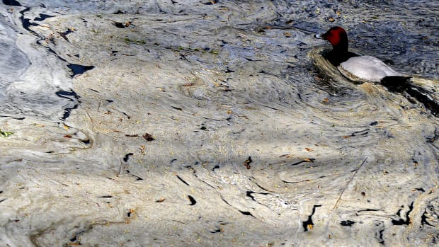 A waterfowl swims in the polluted lake at the Beijing zoo.