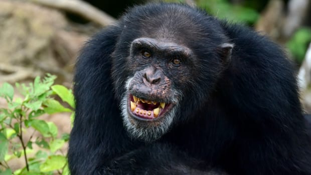 Ponso, the only surviving chimpanzee of a colony of 20 apes, is pictured on Chimpanzee Island near the town of Grand Lahou, Ivory Coast, on August 18th, 2017.