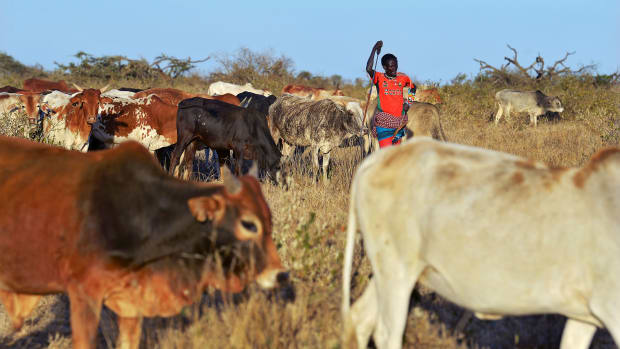 A pastoralist from the indigenous Samburu community leans against his traditional spear as he watches over his cattle.