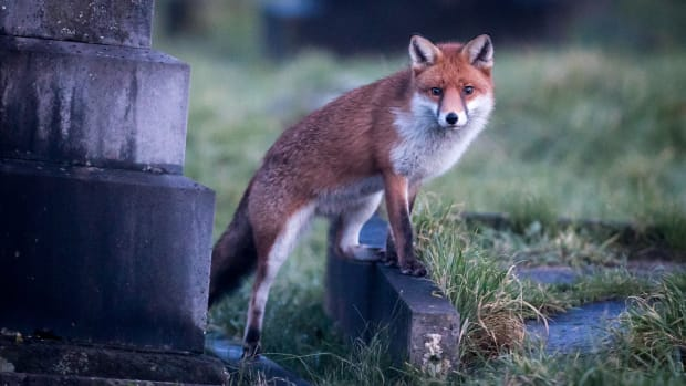 A fox walks through a cemetery at dusk on January 10th, 2018, in Bath, England. Although the number of foxes in the United Kingdom is actually on the decline, the number of urban foxes in England has quadrupled in the past 20 years with an estimated 150,000 foxes in England, or about one for every 300 urban residents, according to a recent study.