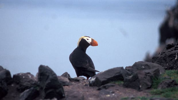 A tufted puffin.