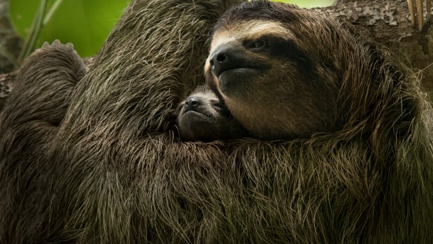 A three-toed sloth mother and baby are two of the many inhabitants of Central America's rainforest ecosystem.