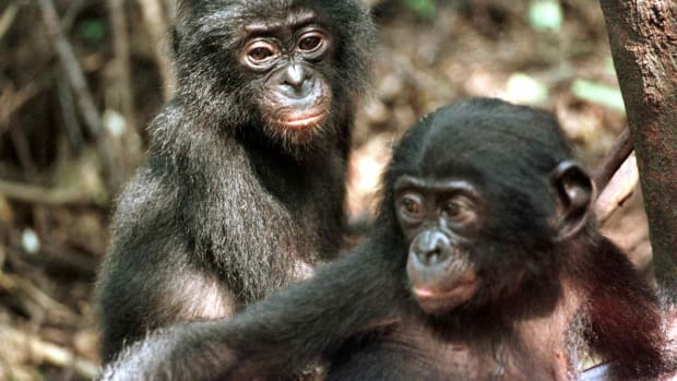 Two baby bonobos.