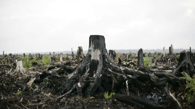 Newly planted palm oil trees are seen growing on the site of destroyed tropical rainforest in Indonesia.