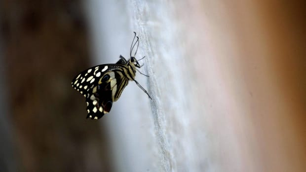 One of the breeding butterflies at Suleiman Kachuma's butterfly garden near Arabuko Sokoke forest.