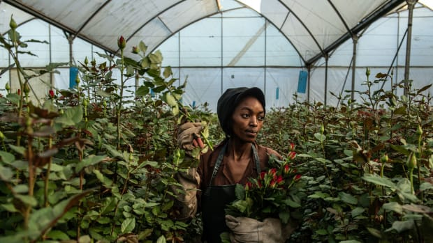 A woman picks roses inside a greenhouse at Wildfire Flowers on February 13th, 2019, in Naivasha, Kenya. Kenya accounts for 38 percent of the flower industry's market share in the European Union, according to the Kenya Flower Council, an industry group. Approximately 50 percent of its exported flowers are sold at auctions in the Netherlands, the source of most of Europe's Valentine's Day bouquets. Kenya's floriculture industry earned more than $800 million in 2017, providing employment to over 100,000 people in the country, according to industry data.