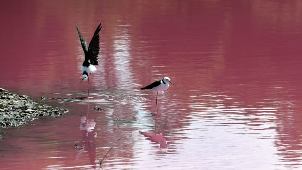 Two stilts look out over a lake that has turned a vivid pink thanks to extreme salt levels further exacerbated by hot weather, in Melbourne, Australia, on March 4th, 2019. The natural spectacle, which resembles a toxic spill, is the result of green algae at the bottom of the lake at Westgate Park reacting to the high levels of salt and producing a red pigment.