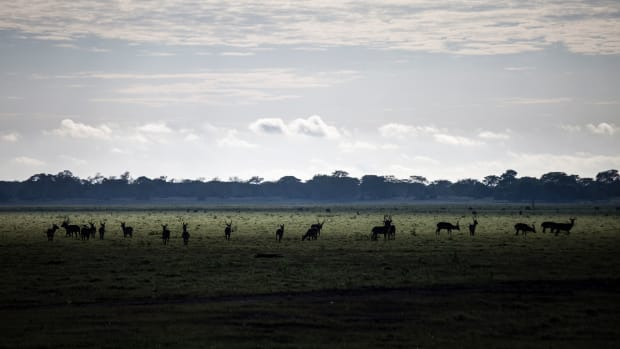 A herd of waterbuck grazes in the open floodplains of Gorongosa National Park