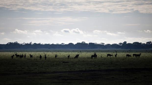 A herd of waterbuck grazes in the open floodplains of Gorongosa National Park
