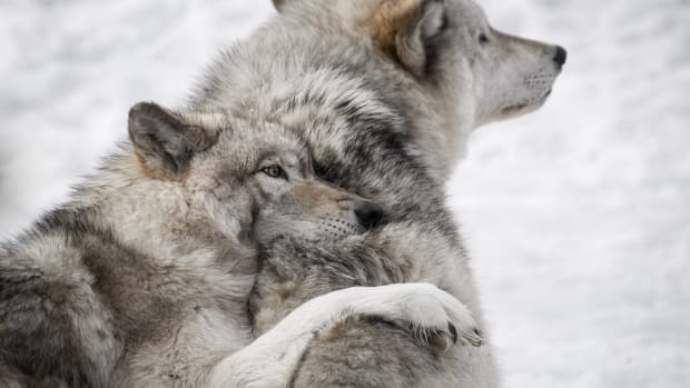 Two wolves in Canada