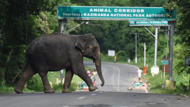 An elephant crosses National Highway-37, which passes through the flooded Kaziranga National Park in the northeastern state of Assam on August 14th, 2017.