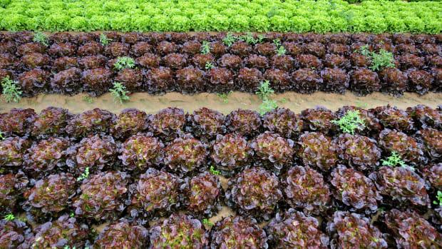 View taken of lettuces on August 5th, 2009, in a field near Douvres-la-Delivrande, outside Caen, northwestern France.