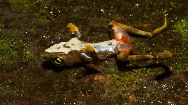A dead Bd-infected limosa harlequin frog.