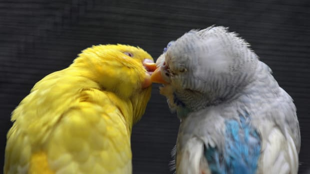 A couple of Budgerigars are seen inside their cage at the Emperor Valley Zoo and Botanical Garden of Port of Spain in Trinidad and Tobago.