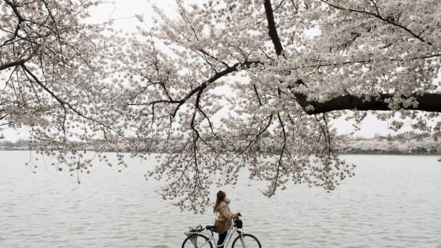 A bicyclist stops to look up at the cherry trees as they blossom around the Tidal Basin on the National Mall in Washington, D.C.