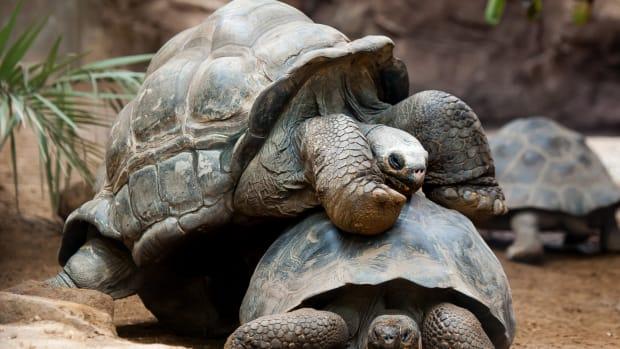 Giant Galapagos tortoises.