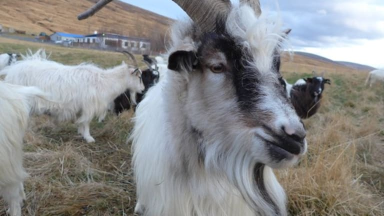 How the Icelandic Goats From 'Game of Thrones' Almost Went Extinct