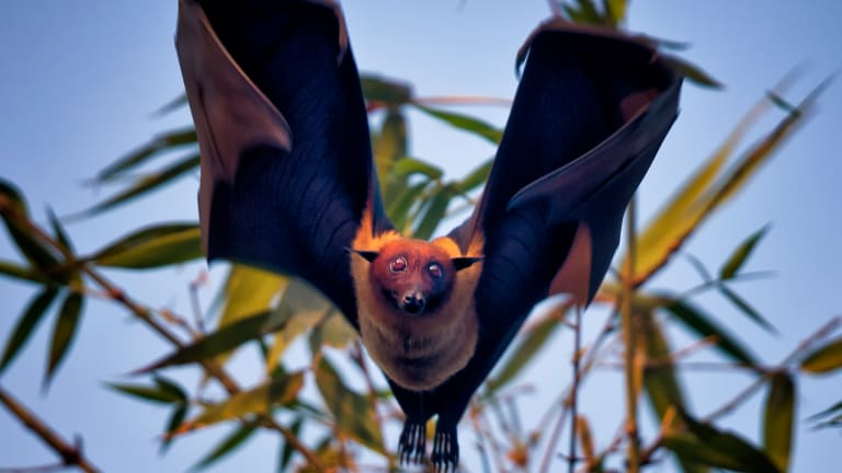 A Bat-Borne Virus Is Poised to Become a Pandemic in Bangladesh. Can We Stop It?