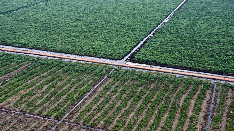 Even After Plantations Are Abandoned Primary Forests Do Not Return