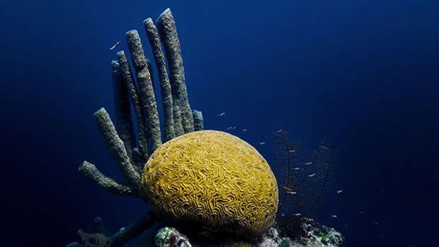 brain-coral