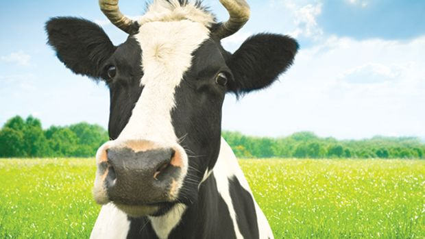 the-big-one-cow