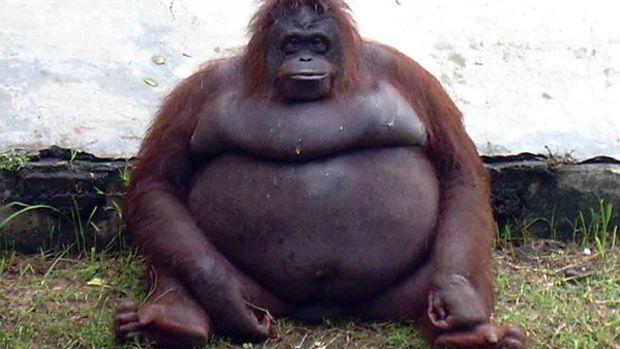 fat-orangutan