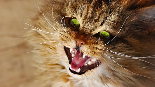 cat-fangs