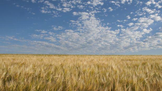 barley-field