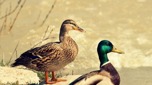 ducksex1.jpg