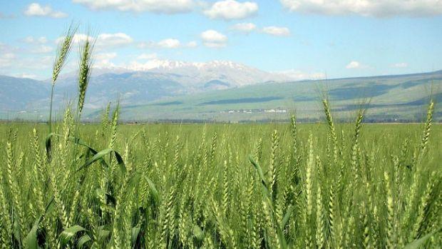 wheat1.jpg