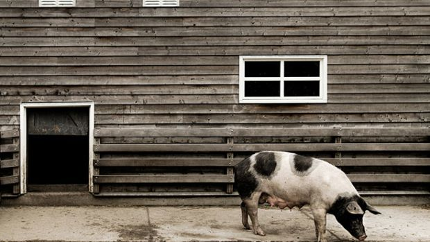 humane-pork