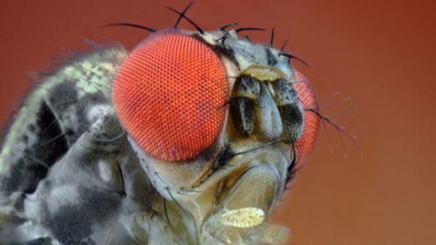 fruit-fly-1
