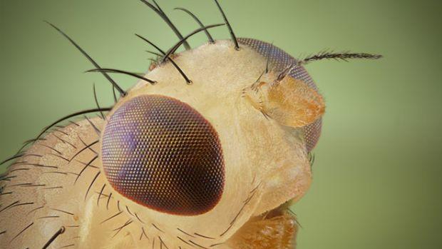 fruit-fly-2