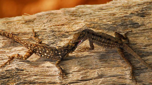 anole-lizards