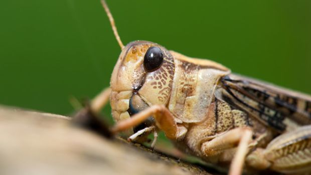 cricket-insect