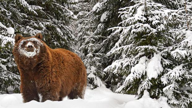 bear-hibernation