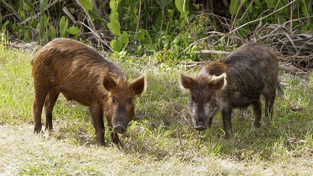 Wild_Pig_KSC02pd0873.jpg