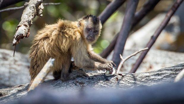 1024px-Bearded_capuchin_monkey_(Cebus_libidinosus).jpg