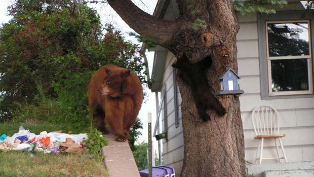 black_bears_colorado_parks_and_wildlife.jpg