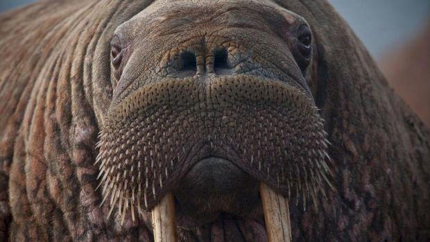 walrus-908609_1280.jpg