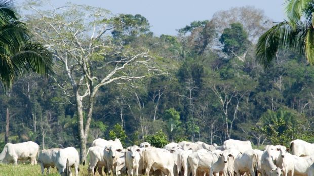 brazil-rainforest-cattle.jpg