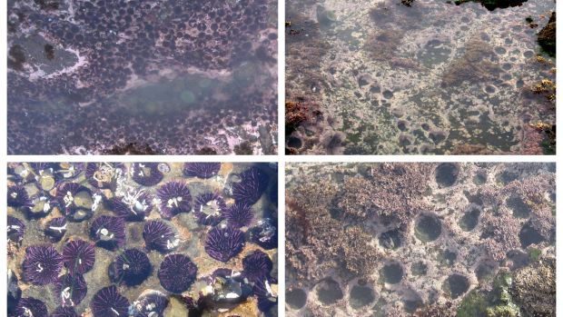purple-sea-urchins-before-after.jpg