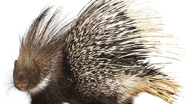 porcupine.gif