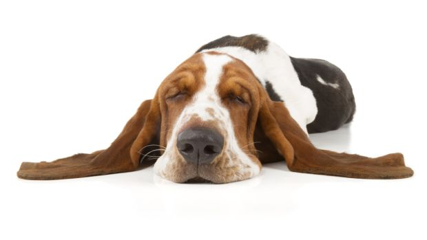basset hound cult 1
