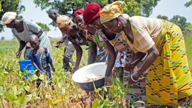 ghana_cowpeas_farmers.jpg