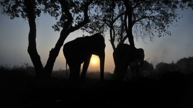 Elephants at dusk in Nepal's Chitwan National Park.