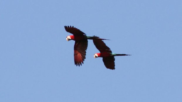 Red-and-green macaws in flight in Manu National Park, Peru.